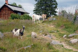 Möte på vägen. Getterna och kossorna möts på fäbodstigen. Foto:Linnea Kallberg