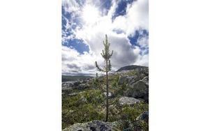 En bra bit högre än den allmänna trädgränsen fanns denna lilla tall på 1 070 meters höjd på Sömlinghågnas sluttning. Foto: Mikael Forslund