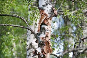 Ett hackspettpar behöver ett en kvadratkilometer stort område                      gammal lövskog, något det är ont om i dag.Här har en hackspett gått loss på nävern i jakt efter något att äta.
