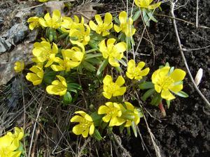 Vi gjorde en najs utflykt till Ängsö slott på påskdagen och det växte små gula blommor (vintergäck?) lite överallt i det torra fjolårsgräset.