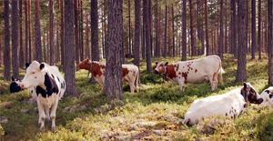 Kor på skogsbete har varit och är fortfarande en del av fäbodkulturen.