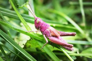 En vackert rosa backgräshoppa, eller möjligen en slåttergräshoppa.