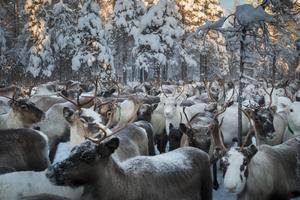 Inne i hägnet utfodrades renarna.