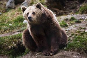 45 björnar är nu skjutna och björnjakten i Västernorrland avbryts. Foto: Ludwig Arnlund
