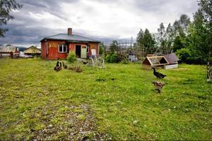 Djuren vandrar fritt på gården.Foto: Ulrika Andersson
