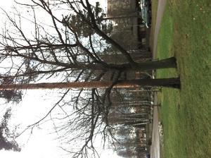 Har gått förbi här många gånger men det var först idag jag upptäckte träden. Den stora yviga som kramar om den långa smala tallen.
