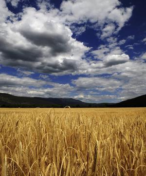 I takt med att folkmängden på jorden växer läggs allt fler naturområden under plogen. På bilden vetefält i Makedonien.
