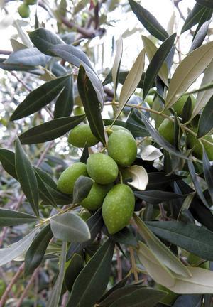 På Thassos finns många olivlundar. Köp gärna hem en liter ekologisk olivolja.    Foto: Johan Öberg