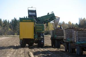 1800 ton potatis ska plockas upp från Kristian Willmans potatisåkrar i Dala-Järna.