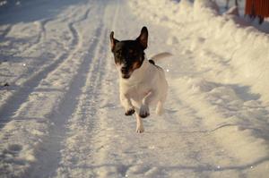 Den lilla hunden Lotus springer så öronen flyger och snön yr omkring.