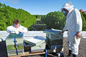 NY BOSTAD. Edward Warburton och Per-Enar Hammarstrand håller på och packar upp bina på Gävle teaters tak. Långt där nere syns lindpaviljongen mellan Rådmansgatan och Kungsgatan och rondellen på norr.