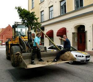 De nya lönnarna anlände till Esplanaden på tisdagen. Kalle Edin och Tommy Holmgren var två av dem som arbetade för att få träden på plats i går.