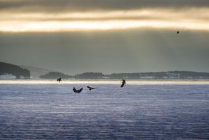 Havsörnarna vid fiskodlingen i Köpmanholmen tros ha flugit in från Finland på väg till varmare breddgrader.