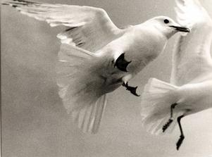 Måsfåglar är skräniga. Foto: Hasse Holmberg/TT