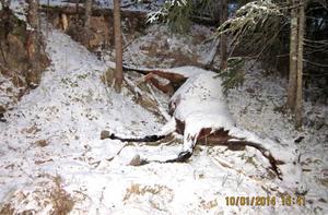 Den döda hästen då miljökontoret kom dit den 10 januari