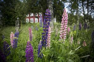 Mångfalden av färgerna, nyanserna, och dess utbredning längs svenska vägar har gjort lupinen populär. Som här i centrala Mörsil där den växer helt fritt.