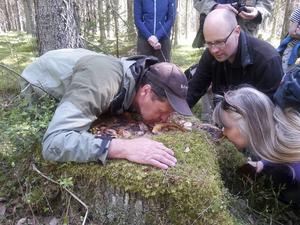 Den sällsynta lukttickan med en angenäm doft var ett av fynden i skogen vid Lindefallet.