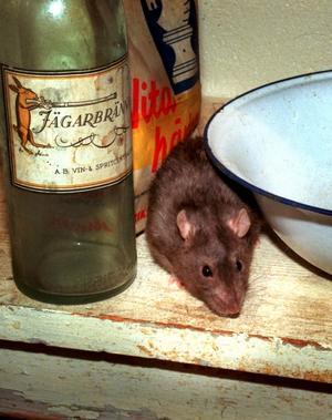 pip. Besök av råttor är vanliga klagomål från stughyresgäster.