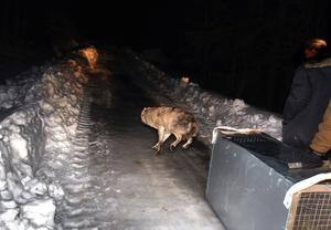 Den 22 mars släpptes en vargtik ut i Kilsbergen, öster om Loka vargrevir.