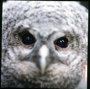 Kattuggleunge. Har ni sett vilka vackra ögon.