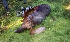 Här är älgen som Mikael Bergström fällde och, har han räknat till, har nitton taggar på hornen.