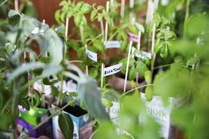 Mängder av tomatplantor auktionerades ut av alla dess slag.