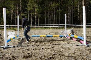 Anledningen till varför just killingar och inga andra djur fick prova på agility beror enligt Ida Olofsson, lärare och studierektor vid husdjursutbildningen, på att de är sociala och gillar att hoppa. Killingagility går ut på att ta sig genom en hinderbana, likt den som hundar utför, så snabbt som möjligt. Foto: Ulrika Andersson