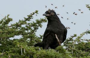 Kråkan gjorde sitt bästa för att ignorera bina.
