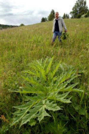 Jättebjörnlokans blad ser ut som stora rabarberblad men är farliga att ta på.