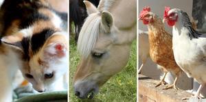 Kvinnan hade mer än ett 70-tal djur av olika sorter på gården trots att hon haft djurförbud i nästan ett år. Nu åtalas hon för brott mot djurskyddslagen. Djurbilderna är tagna i andra sammanhang.