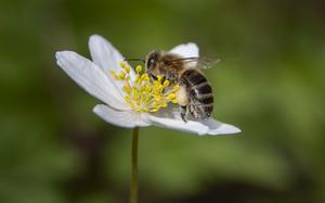 Bin hör till våra flitigaste pollinatörer. Foto: Paul Kleiven/TT