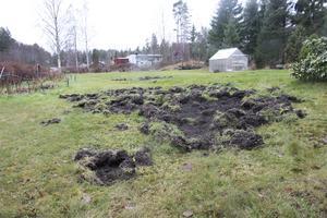 Vildsvin har bökat sönder marken.