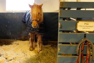 Pila vilar ut med ett värmande hästtäcke i spiltan.