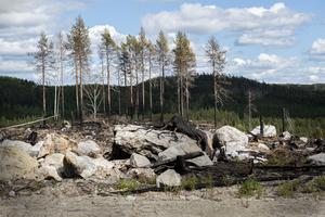 Förkolnade stubbar i grönskan vittnar om fjolårets brand.