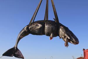 29 mars flöt den döda kaskeloten upp på Sardiniens strand. TT bild.