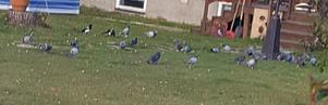 Vissa dagar har familjen haft ett 50-tal duvor på sin tomt.