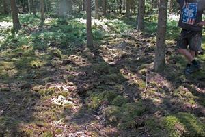 På flera ställen i skogen har vildsvinen bökat upp jorden.