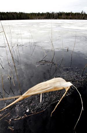 Vassar, vita näckrosor och fiskar – alla har växt till ordentligt efter 1986. Det verkar nästan som om cesium också har en gödande effekt.