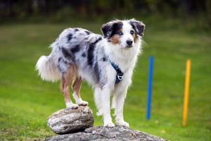 Att stå med baktassarna på en sten på det här sättet är bra träning för hunden.