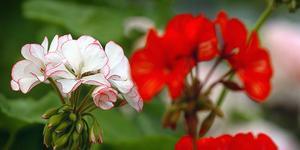 Varför konkurrerar Ica i Kolsva med blomaffären om pelargoner, vill insändaren bland annat veta.