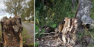 En björkallé med ett sekel gamla träd har utsatts för förstörelse i Vikmanshyttan, vilket lett till en åtalsanmälan av Länsstyrelsen.