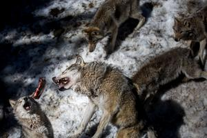 Hans Hägglund på Jägareförbundet anser att det ska bli enklare att skjuta vargar som orsakar problem.