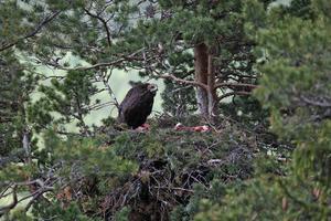Ett av de tre kända örnbona. När ungarna växer upp flyttar de ibland söderut och återvänder senare till fjällvärlden. Foto: Bengt-Göran Carlsson