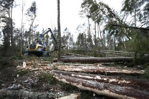 Att röja upp i skogen har pågått sedan dagarna efter Stormen Alfrida.