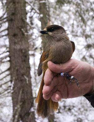 Det är blandade känslor och åsikter kring den lilla fågeln.