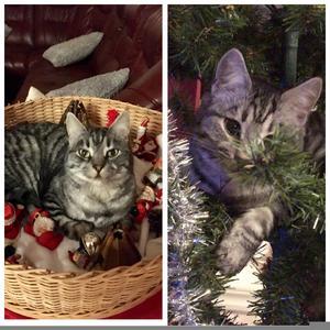 276) MissLi är en busig katt. Klättrar i julgranen så den tippar och ligger gärna bland tomtarna i tomtelandet Foto: Monica Olsson