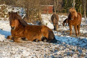 I dag bor 30 islandshästar på Riiby gård.