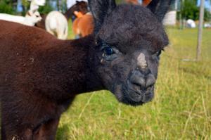 Grim är en av de nyfiknaste alpackorna på gården.