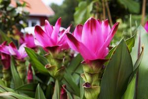 Gurkmeja i trädgården, men mest för blommornas skull.