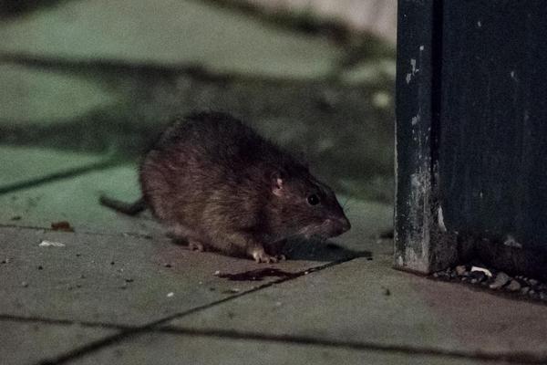 En råtta i Adelaide gnagde av en ledning och lyckades på det sättet avbryta två föreställningar. Gnagaren på bilden har inget med händelsen att göra. Arkivbild: Vilhelm Stokstad/TT